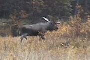 Picture Trophy Bull Moose