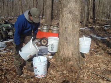 Gathering the Maple Sap Buckets