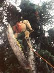 Smokejumper Hung-Up in Tree