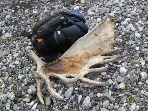 Giant shed Alaska moose antler