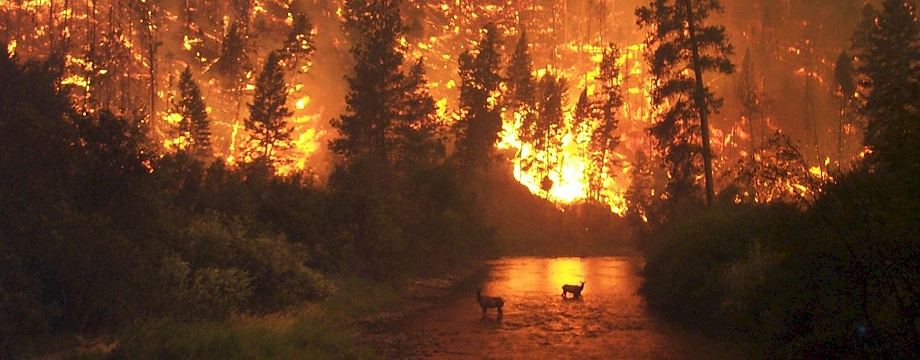Elk Deer in River with Forest Fire