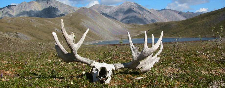 Moose Skull, Brooks Range, Alaska