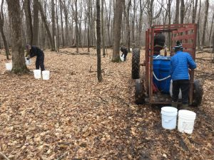 Gathering maple sap