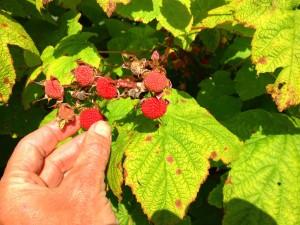 Alaska Thimbleberries