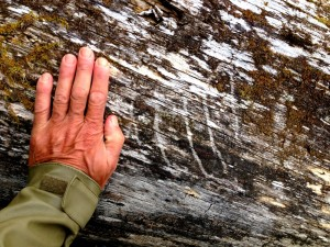 Brown bear claw marks