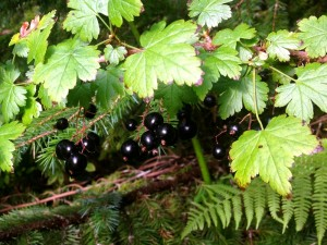 Alaska black currants