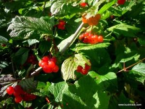 Alaska Highbush Cranberries