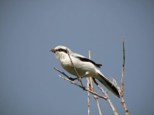 Northern shrike in the Brooks Range, ANWR