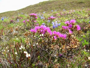 Wildflowers, Brooks Range, ANWR