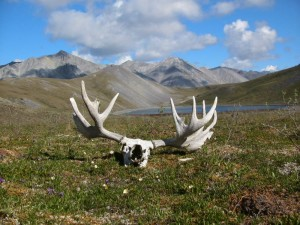 Alaska Bull Moose Skull and Antlers