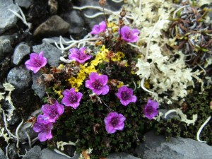 Tundra flowers and lichen