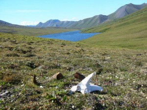 Skull and horns from a dall sheep ram, Brooks Range Alaska