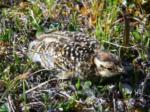 Hiding Ptarmigan Chick