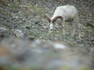 Dall sheep ram, Brooks Range