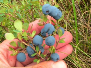Ripe blueberries, Brooks Range