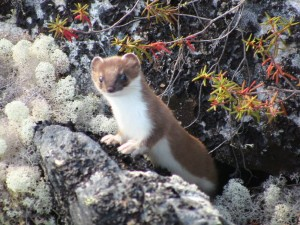 Weasel, Gates of the Arctic Alaska