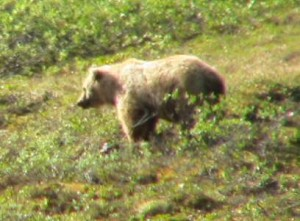 Blonde Grizzly, ANWR
