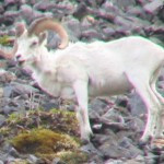 Dall sheep ram, ANWR, Brooks Range