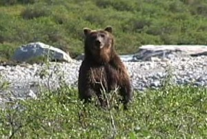 Grizzly standing to check out intruder