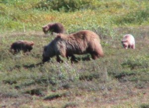 Grizzly sow and three cubs, Noatak River
