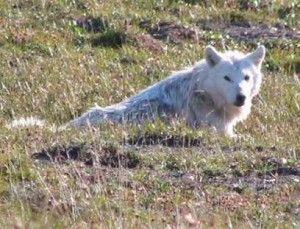 White wolf, Gates of the Arctic, Alaska