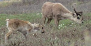 Caribou Calf and Cow, Arctic National Wildlife Refuge