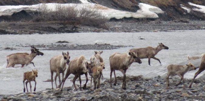 Caribou calves crossing Aichilik River