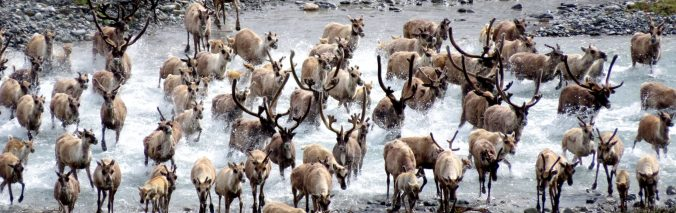Porcupine Caribou Herd crossing a river, ANWR