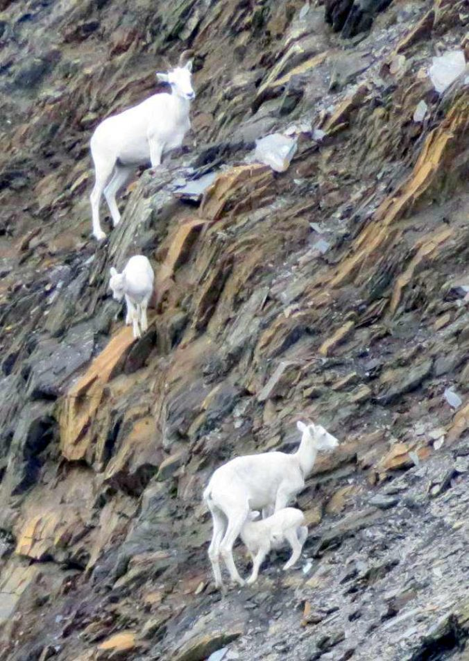 Dall sheep ewes and lambs