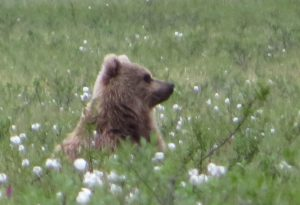 Grizzly in Cotton Grass