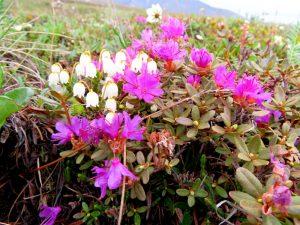 ANWR Wildflowers