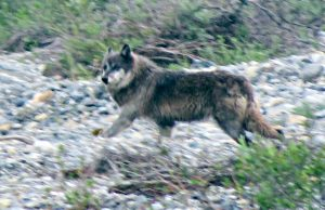 Wolf, Arctic National Wildlife Refuge