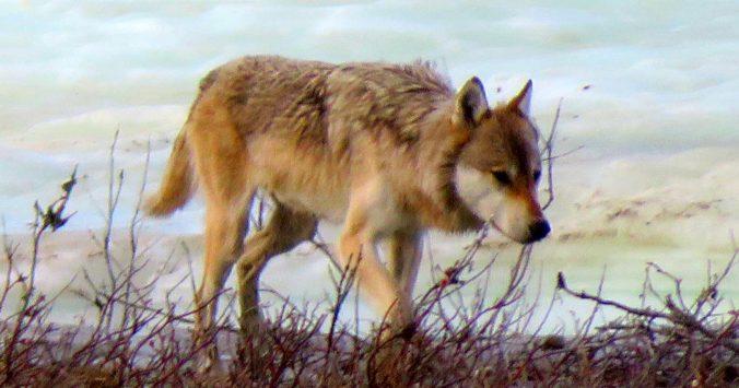 Gray Wolf, ANWR
