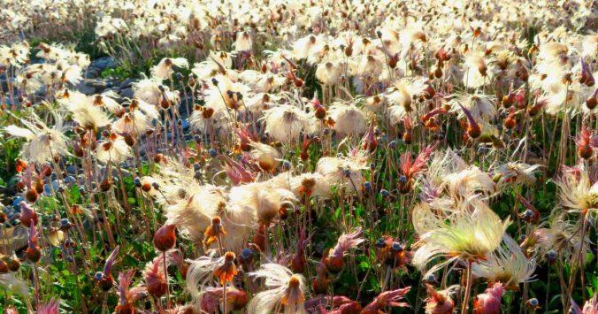 Cotton Grass along Coleen River