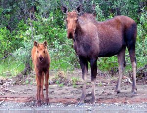 Cow and Calf Moose, ANWR