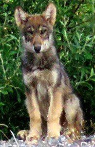 Wolf pup, Alaska
