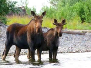 Alaska cow moose an bull